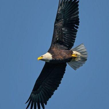 Bald Eagle (male) - 01054