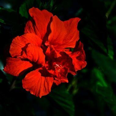 Golden Hour Hibiscus