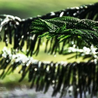 Norwegian Pine Bathed in Bokeh