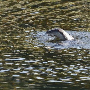 Nutria (lutra lutra),en wildlife; mamifero acuatico del rio Alagon (Sierra de Francia-Spain).Complicada de ver y fotografiar durante el dia