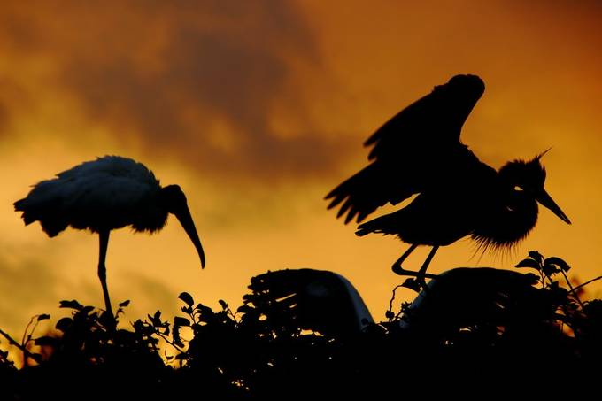 Sunrise Bklue Heron and Wood Stork