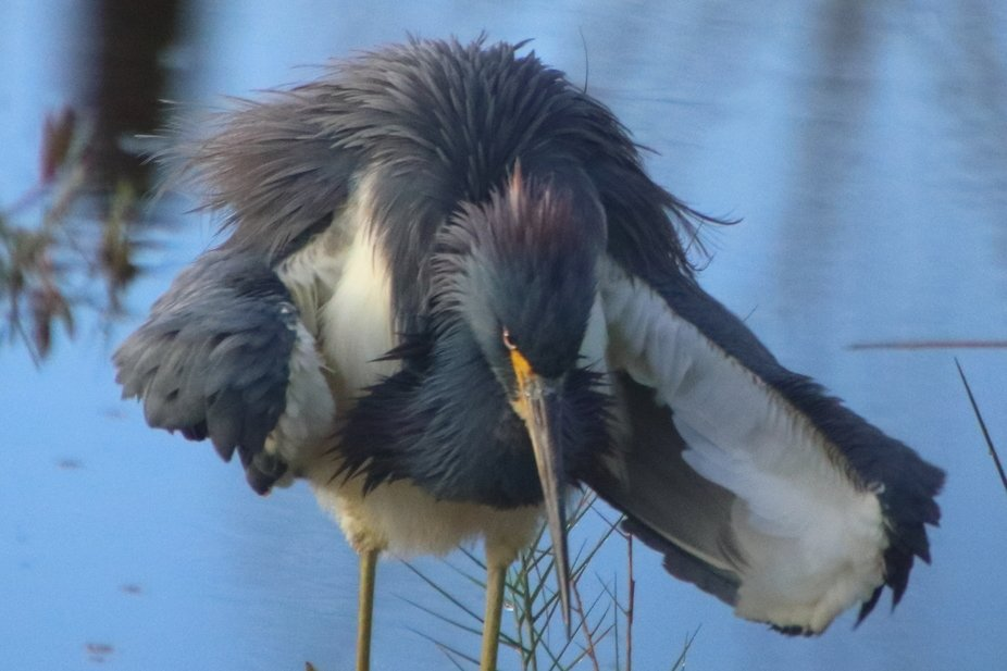 Expressing his dissatisfaction with another heron in his territory.