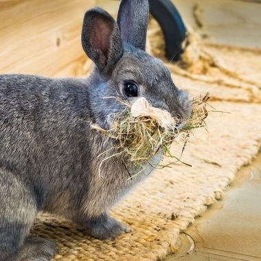 a nice photo of my bunny with a face full of hay. they do this in preparation of having their young by making a nest.