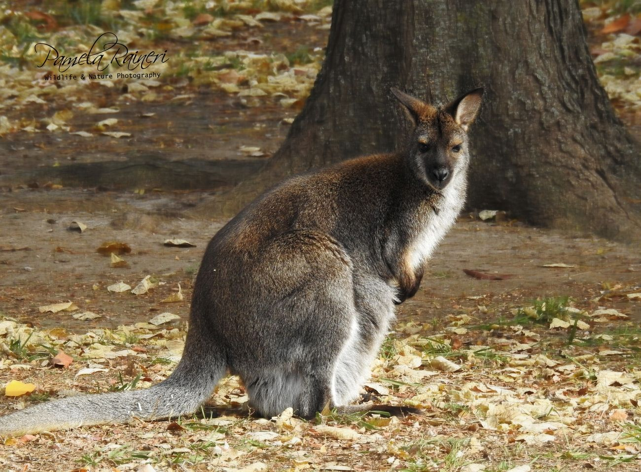 The red-necked wallaby or Bennett's wallaby is a medium-sized macropod marsupial, common in the more temperate and fertile parts of eastern Australia, including Tasmania.