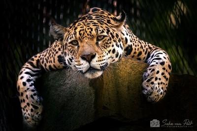 Relaxing Jaguar