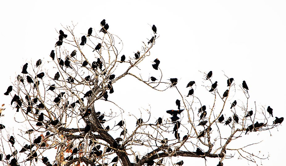 Taken at Isleta Lake south of Albuquerque, NM.  Red wing blackbirds filled the trees around the l...