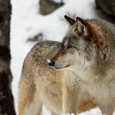 Aidan is a male Rocky Mountain subspecies of the gray wolf and a member of the Ambassador Pack at the International Wolf Center