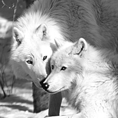 Axel and Grayson are male Artic subspecies of the gray wolf and members of the Ambassador Pack at the International Wolf Center