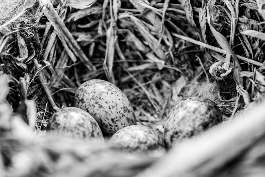 Black and White bird's nest with speckled eggs and feathers.