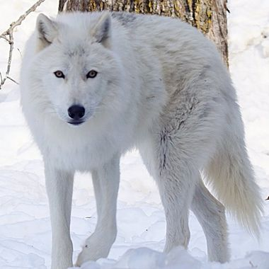 Axel is a male Artic subspecies of the gray wolf and a member of the Ambassador Pack at the International Wolf Center