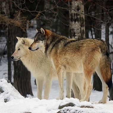 Boltz is a Great Plains subspecies of the gray wolf and Axel is a male Artic subspecies of the gray wolf.  Both are members of the Ambassador Pack at the International Wolf Center