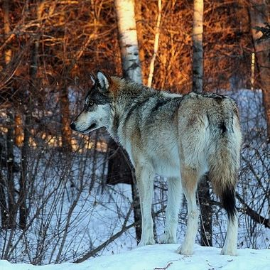 Boltz is a male Great Plains subspecies of the gray wolf and a member of the Ambassador Pack at the International Wolf Center