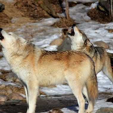 Denali is a male Rocky Mountain subspecies of the gray wolf.   Boltz is a Great Plains subspecies and both are members of the Ambassador Pack at the International Wolf Center