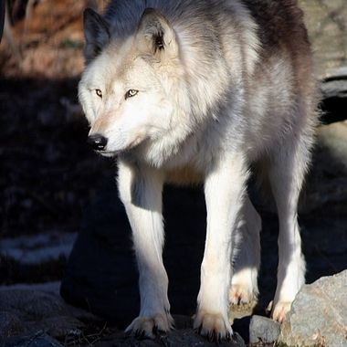 Denali is a male Rocky Mountain subspecies of the gray wolf and a member of the Ambassador Pack at the International Wolf Center