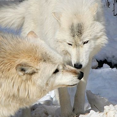 Denali is a male Rocky Mountain subspecies of the gray wolf and Axel is an Artic subspecies.  Both are members of the International Wolf Center.