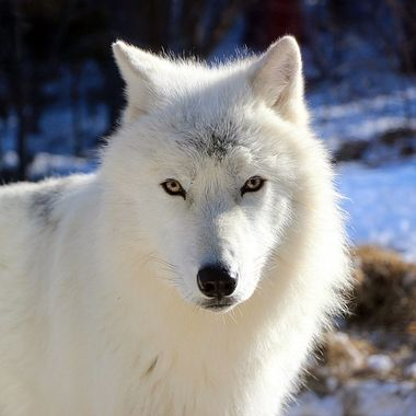 Grayson is a male Artic subspecies of the gray wolf and a member of the Ambassador Pack at the International Wolf Center