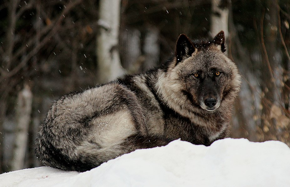 Luna is a female black phase Great Plains subspecies of the gray wolf and a member of the Retirem...