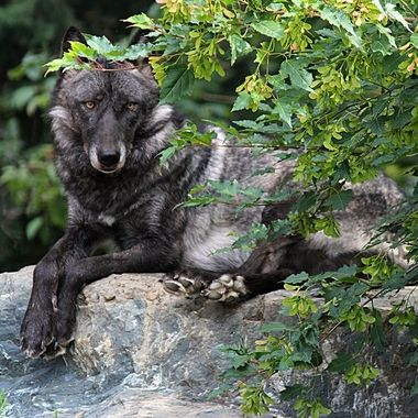 Luna is a female black phase Great Plains subspecies of the gray wolf and a member of the Retirement Pack at the International Wolf Center