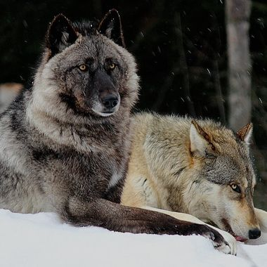 Luna is a female black phase Great Plains subspecies of the gray wolf and Boltz is a male Great Plains.  Luna is a member of the Retirement Pack and Boltz is a member of the Ambassador Pack at the International Wolf Center