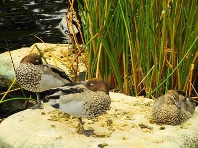 Sleeping Ducks.