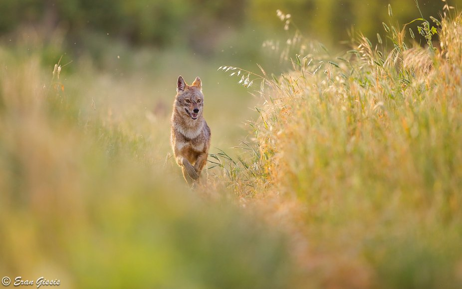 Golden jackal (Canis aureus) running through a spring coloured field, backlit by the sunset. Gold...