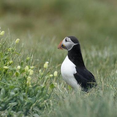 Frailecillo (Fratercula arctica) en epoca de reproducion en el mes de Junio de las Islas Farne (Norte de Inglaterra-Mar del Norte)