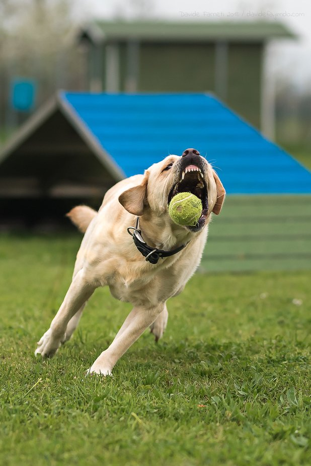 """Argo - """"The ball is mine!"""" by davidefa - Dogs In Action Photo Contest"""