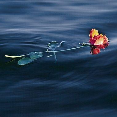 Single Floating Rose