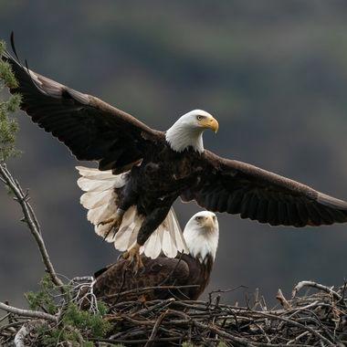 Bald Eagle - 03697