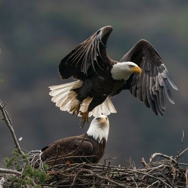 Bald Eagle - 03698