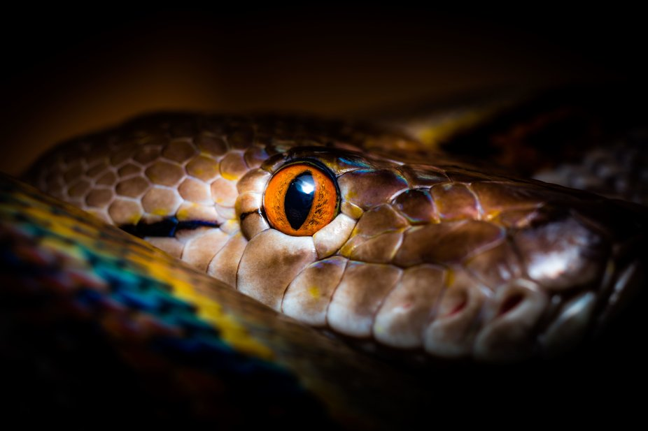 A macro/abstract shot of Nova, a reticulated python.