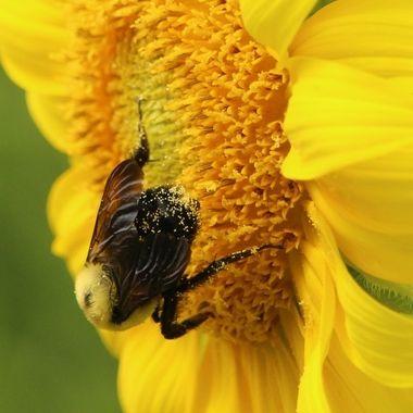 Honey bee III