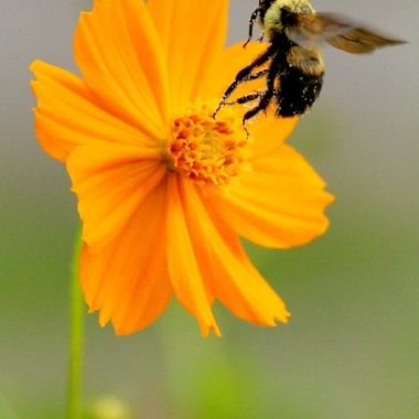 Honey bee V