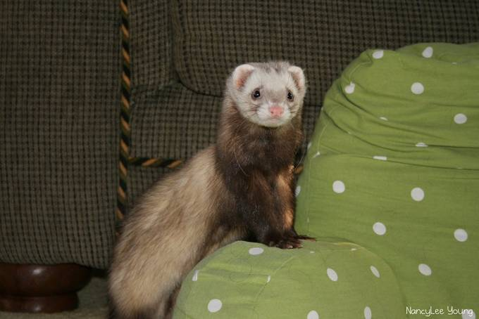 Houdini got his name due to his escaping from his cage on our neighbors sun porch.  We found him wandering, alone, and so we scooped him up.  He was no longer wanted by his owner and so we added him to our crew of 4 other ferrets.