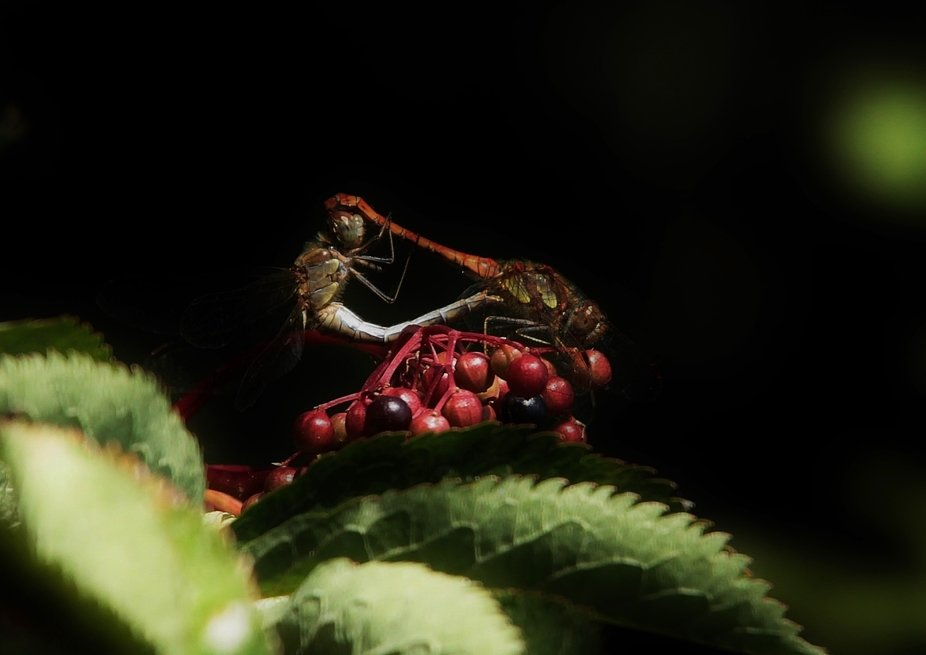 A male and female darter mating on some berries