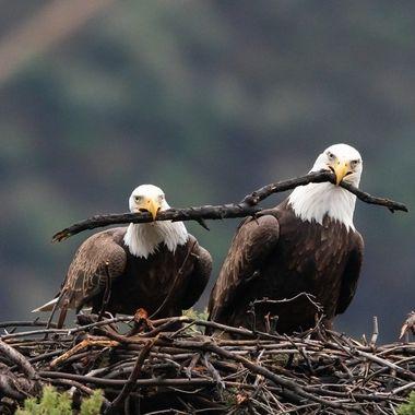 Bald Eagle -02922
