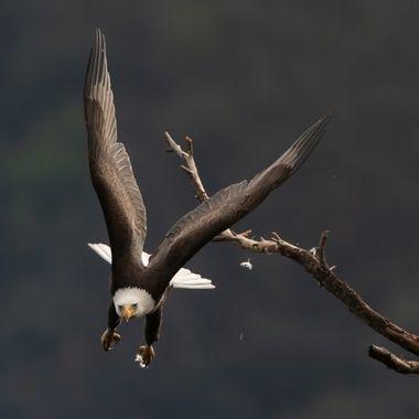 Bald Eagle (male) -03607