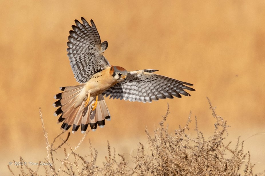 A Kestrel just before a successful strike at its prey, shot at Rocky Mountain Arsenal National Wi...