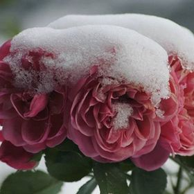 snow_and_rose