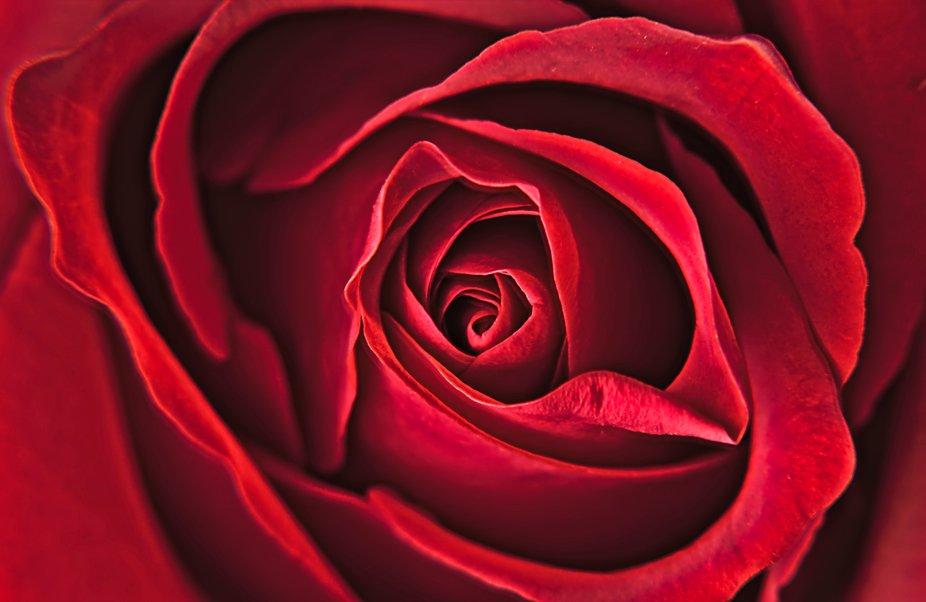 A red rose, shot full frame composition