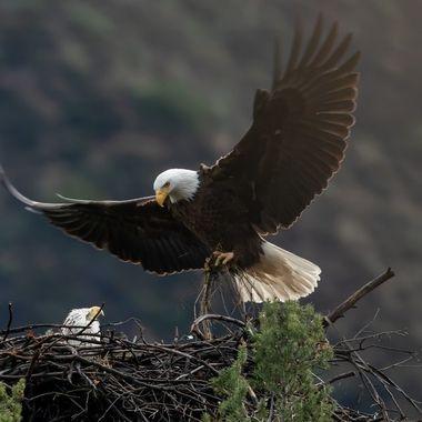 Bald Eagle (male coming home) - 03416