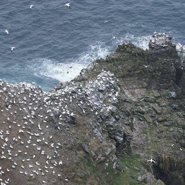 Colonia de Alcatraces (Morus bassana) en Escocia en Primavera