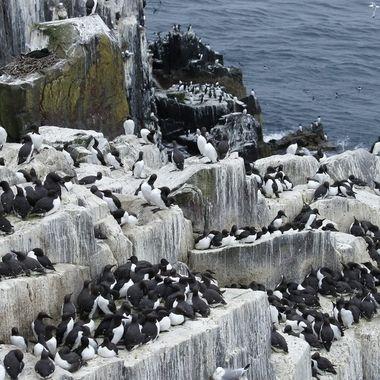 Colonia de Araos (Uria aalge) en los acantilados de las islas Farne U.K