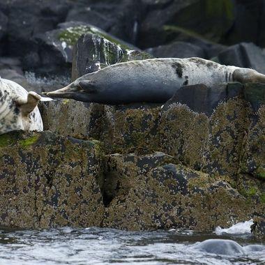 Focas grises en las islas Farne U.K Mar del Norte en el mes de Junio