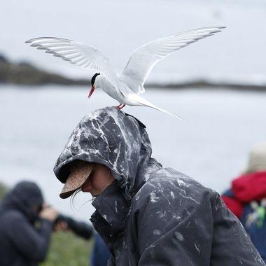 El Charran Artico (Sterna paradisaea) es muy agresivo con cualquiera que se aproxime a su nido, incluso con los cuidadores del Parque.Islas Farne