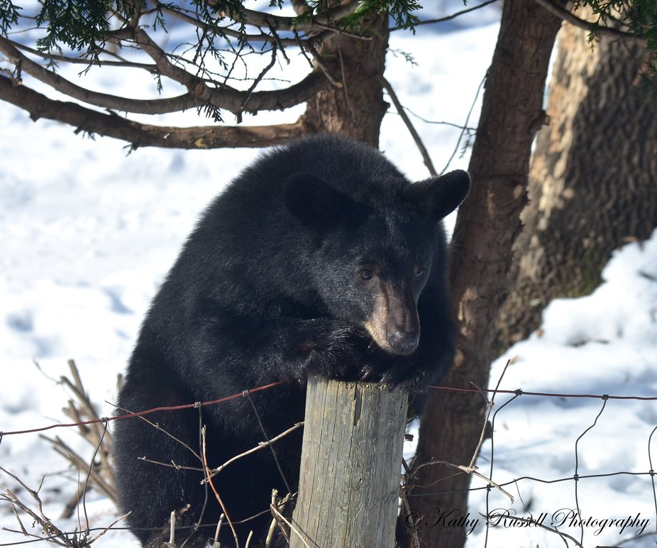 Local bear contemplating coming over my fence.