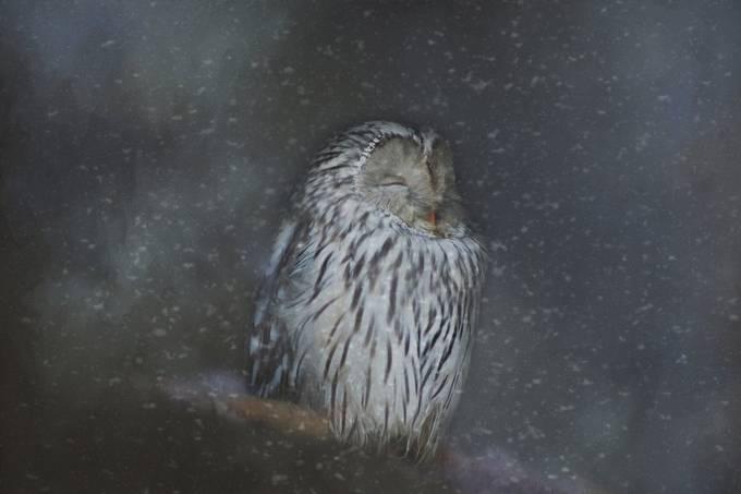 Snowy Owl by SteeleBirdie - We Love The Winter Photo Contest