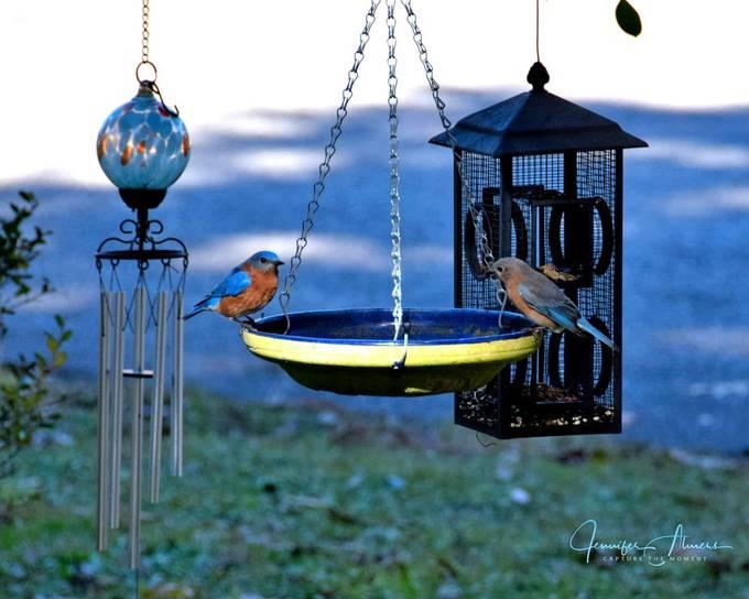 Bluebirds on a Feeder