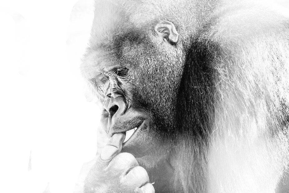 Ape in captivity