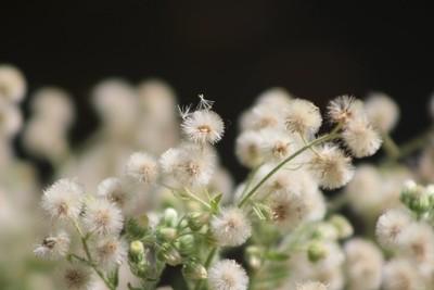 Macro of Fluffy Seed Heads at Sunnyland Estates